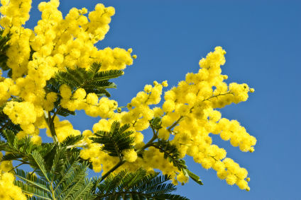 Closeup of ball shaped Mimosa flowers